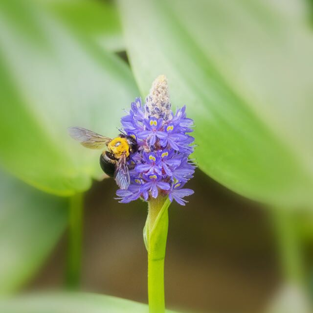 A native purple pickerelweed is pollenated by a bee.