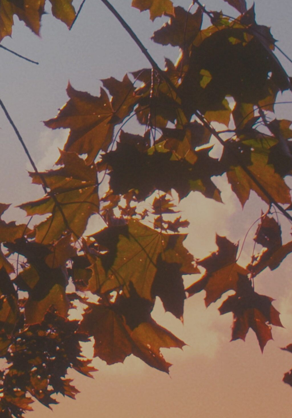 Fall leaves against a blush colored sky.